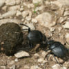BLOG | What dung beetles and empirical research have in common